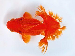 Tìm hiểu kiến thức về cách nuôi Cá Vàng